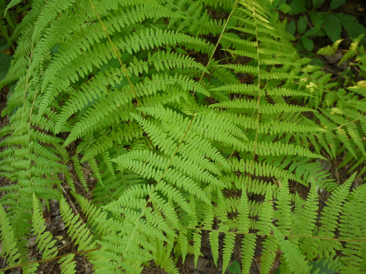 Fern, Flat Rock, North Carolina